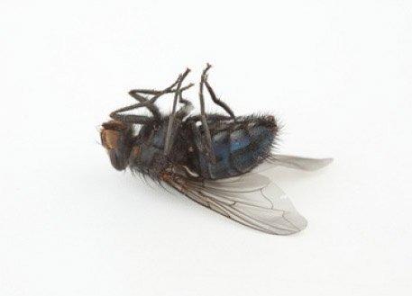 que significa soñar con moscas muertas
